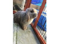 Male adult mini lop