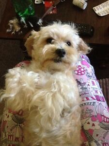 Maltese poodle and Maltese cavalier Skye Frankston Area Preview