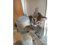 Pure Breed Bengal Kitten- BOY