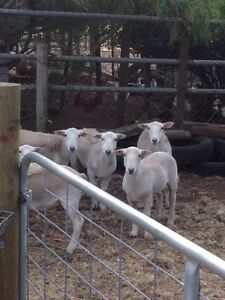 Wiltipol ewe lambs sheep Macclesfield Mount Barker Area Preview