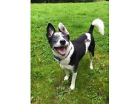 Loving home wanted for Chance, Collie cross