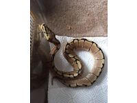 Royal python with everything to start! possibly sell snake seperately