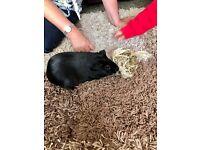 Black male guinea pig