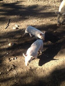 Purebred Large White Piglets Port Macquarie Port Macquarie City Preview