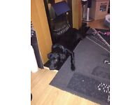 8month old male Labrador kc registered