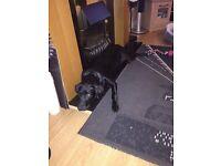 8month old male Labrador kc registered
