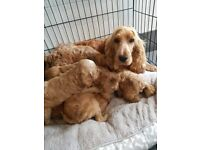 F1 show class Red cockapoo puppies. Pra clear