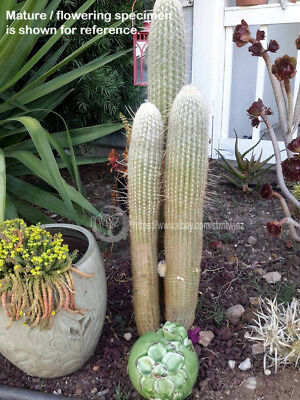 rooted Old man of the Andes Cactus fuzzy hairy rare succulent oreocereus white  (Old Hairy)