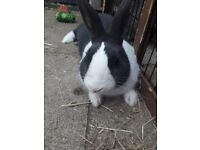 neutered and vaccinated male rabbit