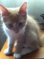Free Kittens for sale, Gage/Tabby