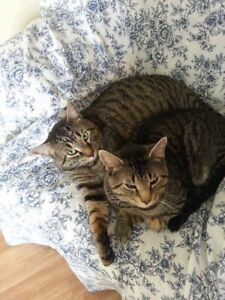 2 Male Neutered Cats Need Temp Home ASAP