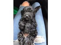 Springer cross miniature poodle puppies