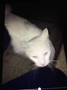 REWARD OFFERED FOR SAFE RETURN OF OUR WHITE CAT Kurri Kurri Cessnock Area Preview