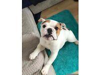 English Bulldog puppy boy for Sale