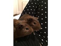 2 Guinea pigs for free to a loving new home