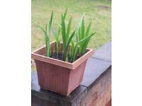15 Gladioli Flower Plants