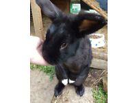 AlfieCross Breed Rabbit