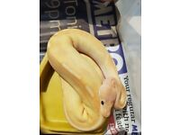 Royal Pythons - Various Morphs from £50