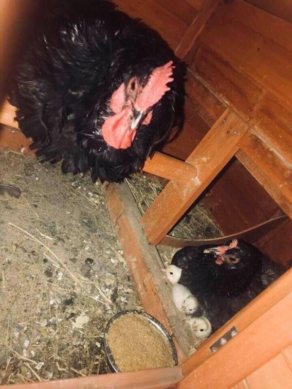 One Dozen Fertile Chicken Hatching Eggs Assorted Barnyard mix