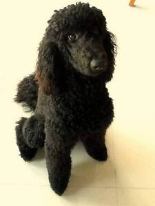 wanted standard  poodle Bicton Melville Area Preview