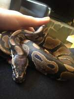 3 year old Ball Python