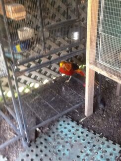 Golden Pheasant male needs a mate $50