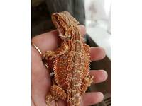 Beautifull hypo red firetiger bearded dragon good home only