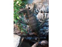 For sale-2 Tame Roughneck Monitors-Varanus rudicollis.