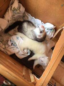 Two Desexed Ferrets Bassendean Bassendean Area Preview