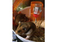 Two Pedigree Hamsters, very tame and are brothers, complete with large Habitrail system