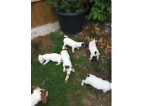 Lovely Jack Russel Puppys