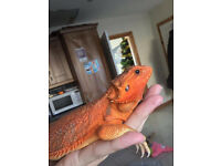 Red Female Bearded Dragon for sale & 4FT Vivarium...Bangor