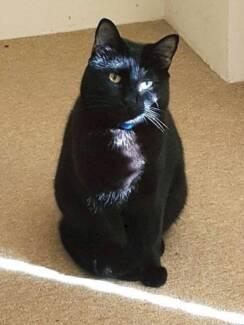 AC0114 : Raven - CAT for ADOPTION - Vet Work Included