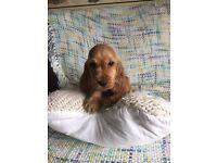 Cocker spaniel pup for sale