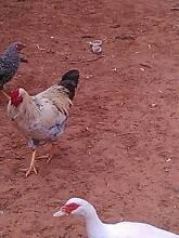 Plymouth Rock x Rooster (has more speckles than looks in photo Kingston On Murray Loxton Waikerie Preview
