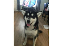 malamute puppy 8 months old for REHOME