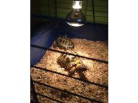 2 male horsefield tortoises for sale with cage and lighting