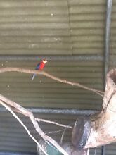 Western rosella Cranbourne South Casey Area Preview