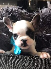 French bulldog only 3 left