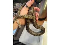 Adult male Anery corn snake