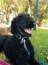 White females standard poodle wanted Hopeland Serpentine Area Preview