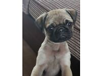 13 weeks old pug puppy girl