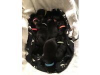 Rottweiler Puppies looking for new home 8th December