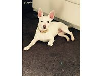 1 year old white chihuahua x jack Russell