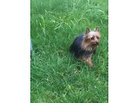 male yorkie pup for sale