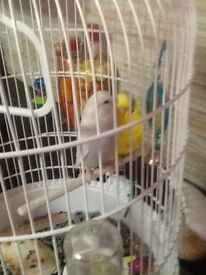 Two beautiful budgies for sale lovly colours