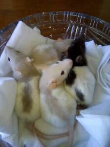 Adorable Baby Rats Ettalong Beach Gosford Area Preview