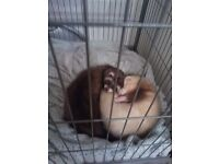 2 ferret brothers for sale with cage!