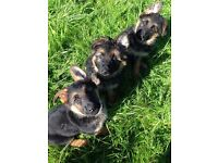 Pedigree German Shepherd Puppies ready now