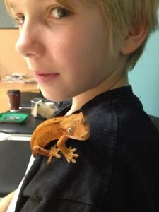 2 year old Crested Gecko.